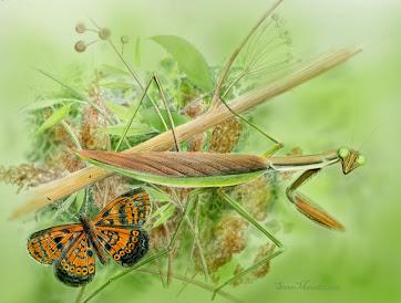 colorized mantis composite